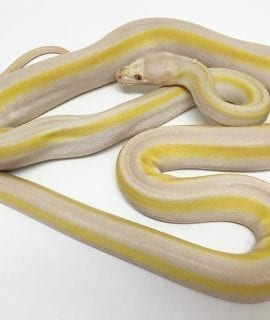 Male White Motley Titanium Mainland Reticulated Python CB15