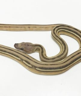 Female Super Tiger het Mocha or White Albino Mainland Reticulated Python CB19