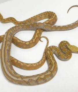 Female Coral Marble Dwarf Reticulated Python CB19