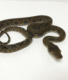 Male Citron het Albino Mainland Reticulated Python CB19