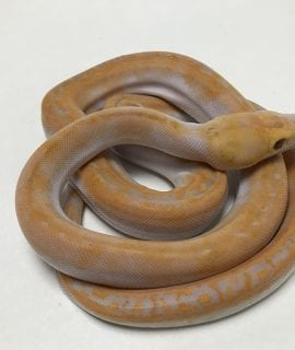 Female Lavender Albino Pied Reticulated Python CB19