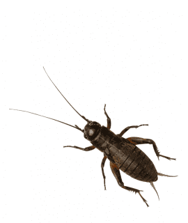Black Crickets, Extra-Large (Bag of 500)