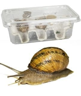 Snails Pre-Pack, 12 x Small