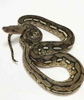ale Tiger het Anthrax Mainland Reticulated Python CB19