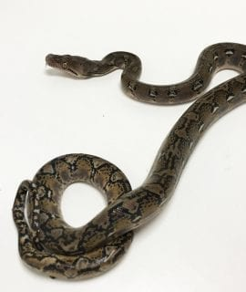 Female Classic het Anthrax Mainland Reticulated Python CB19