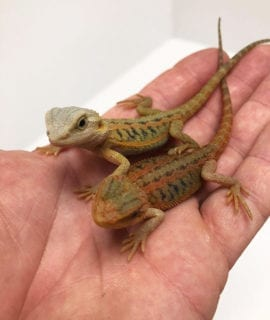 Red Citrus Hypo Translucent Bearded Dragon CB20