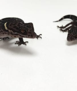 Male and Female Cave Gecko CB