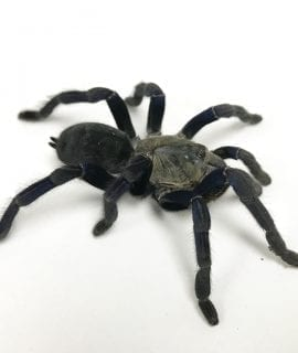 Female Cobalt Blue Tarantula