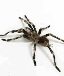 Male Brazilian Red and White Tarantula