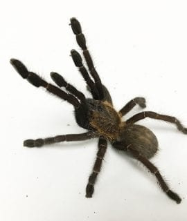 Female Singapore Blue Tarantula
