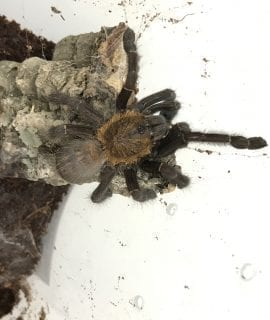 Female Borneo Orange Fringe Tarantula