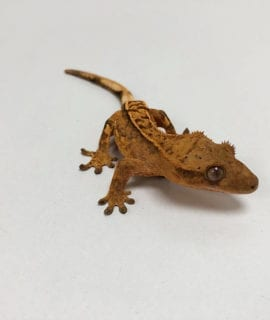 Flame Crested Gecko 5-6cm CB19