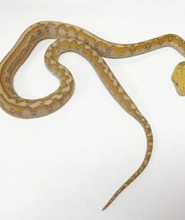 Female Coral Marble Dwarf Reticulated Python CB19 2