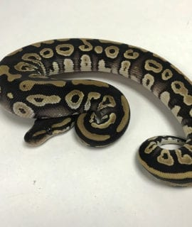 Female Phantom het Pied Royal Python CB19