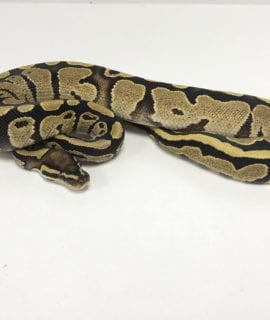 Male Fire het Pied Royal Python CB19