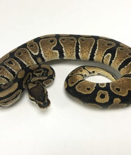 Male Classic het Clown Royal Python CB19