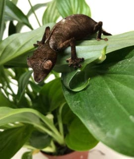 Satanic Leaf-tailed gecko- Proven Breeder Pair CB16