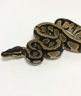 Female Orange Dream Yellowbelly het Pied Royal Python CB19