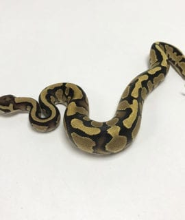 Male Orange Dream Fire het Pied Royal Python CB19