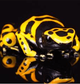 Yellow & Black Poison Arrow Frog CB