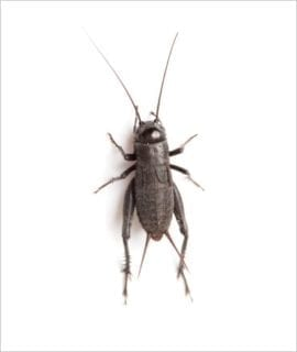 Black Crickets pre-pack, Extra-Large