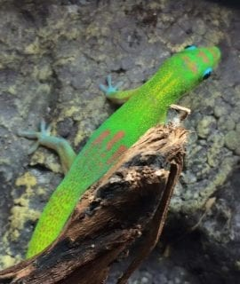Male Gold Dust Day Gecko CB19